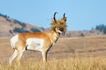 Pronghorn Buck with Headgear During Rut