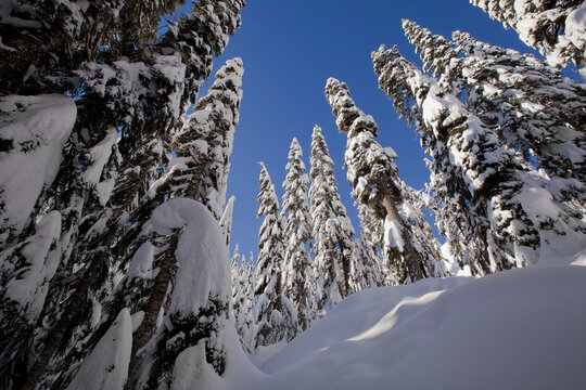 Snow-covered evergreens and snow drifts at Snoqualmie Pass, Washington state
