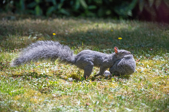 An adult western gray squirrel (Sciurus griseus) runs and leaps through the grass while carrying a younger squirrel in its mouth.