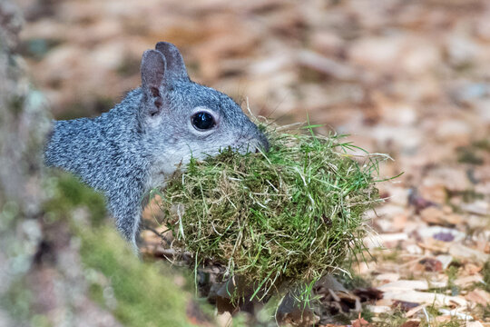 An adult western gray squirrel (Sciurus griseus) collects grass and moss nesting material in its mouth.
