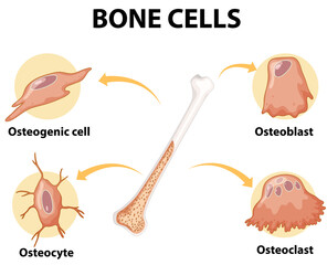 Human bone cells anatomy