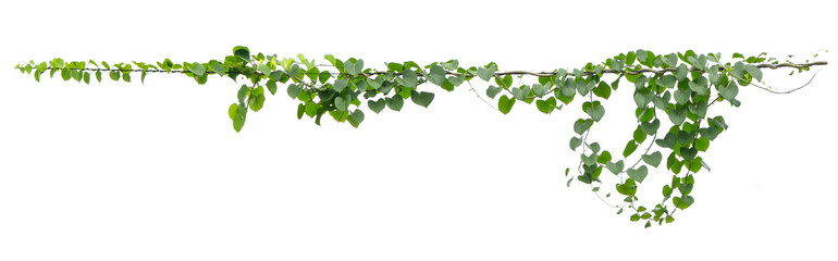 Obraz ivy plant hanging on electric wire isolate on white background - fototapety do salonu