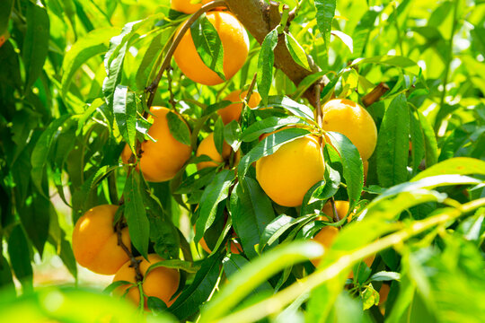 Fresh yellow peaches on tree branch ready for harvesting in garden at summer day
