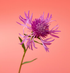 one lilac pink flower on background