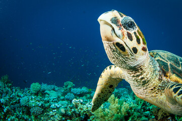 Hawksbill sea turtle swimms in the clear blue ocean