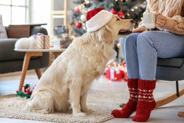 Cute dog with owner at home on Christmas eve