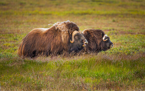 Pair of Musk Oxen (Ovibos moschatos) on the tundra of the North Slope in Alaska in autumn