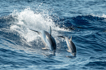 baby newborn Dolphin while jumping in the sea at sunset
