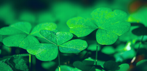 Lucky Irish Four Leaf Clover in the Field for St. Patrick's Day