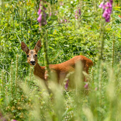 European or western or chevreuil roe deer in spring vegetation