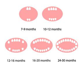 Baby teeth on a white background. Teeth growth. Cartoon. Vector illustration.