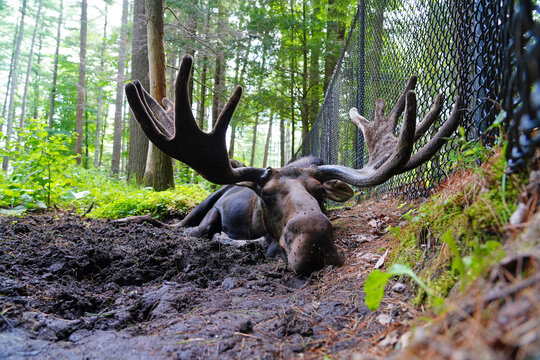 View of a bull moose with antlers in Maine