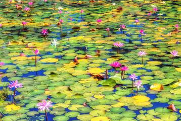 Bloomimg Lotus flowers