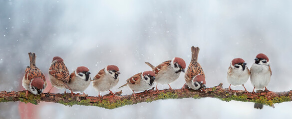 panoramic photo with small funny birds sitting on a branch in the garden under falling snowflakes