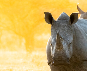 rhino in the sun