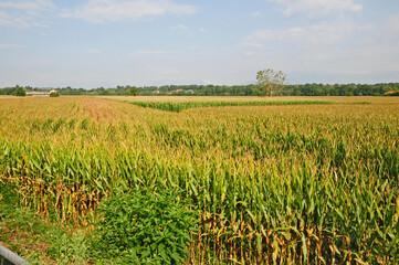 Campi di mais nella pianura di Santhià