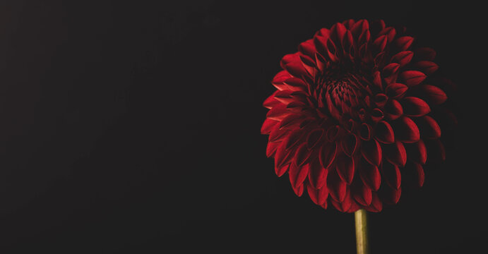 Exotic red dahlia flower isolated on black background