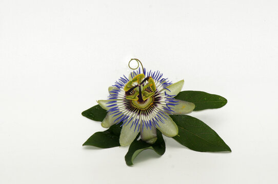 Closeup shot of a Passionflower taken in a studio