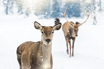 Deer in beautiful winter landscape with snow and fir trees in the background.