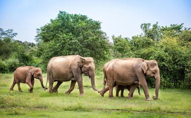 Elephants with baby elephant in the Udawalawe National Park on the island of Sri Lanka