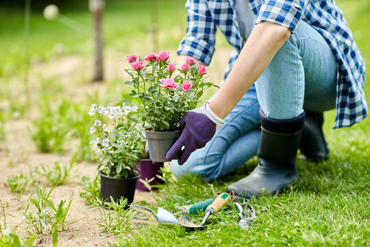 gardening and people concept - woman planting rose flowers at summer garden