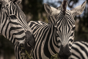 Closeup shot of zebras grazing in nature