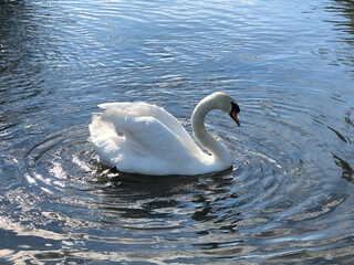 White swan swimming alone in calm lake with ripples in water