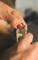 Cutting claws of pomeranian dog in grooming salon.