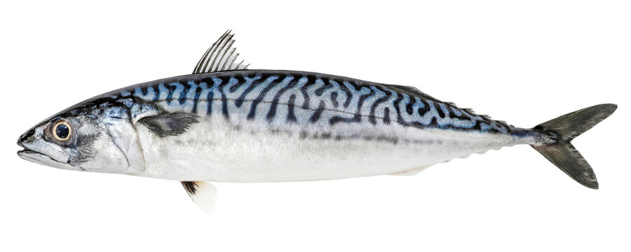 Atlantic mackerel fish isolated on white background