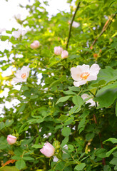 Dog rose blossoms outdoor on a plant