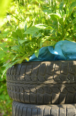 Old car tyres used to grow plants inside
