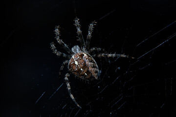 Closeup of spider on web on black background, macro