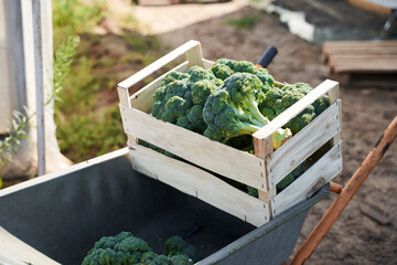 Fresh broccoli on wheelbarrow left on plantation
