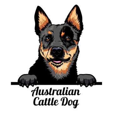 Peeking dog - Australian Cattle Dog - dog breed. Color image of a dogs head isolated on a white background