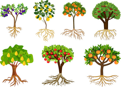 Set of different fruit trees with ripe fruits and root system isolated on white background. Harvest time