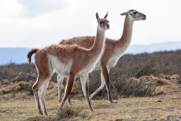 Wild guanaco in Torres del Paine national park Patagonia Chile