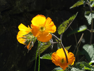 close up of bright yellow welsh poppy flowers with sunlit green vegetation against a dark background
