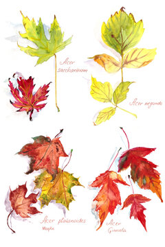 set of autumn maple leaves Acer platanoides and Acer Ginnala, Acer negundo and Acer saccharinum ,watercolor drawing on a white background