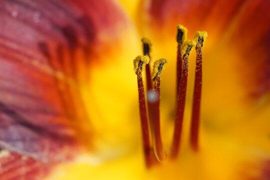 鮮やかなオレンジ色のユリの雄蕊のクローズアップ