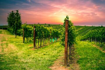 Photo sur Plexiglas Orange eclat Grape field growing for wine. Vineyard hills. Summer scenery with wineyard rows