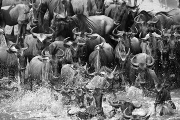 Wall Mural - The wildebeest are also called as Gnu, these are even-hooved (ungulate) mammal