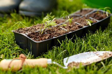 gardening, eco and organic concept - seedlings in starter pots tray with soil at summer garden