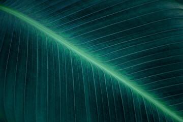 Wall Mural - tropical banana leaf texture, abstract green banana leaf, large palm foliage nature dark green background