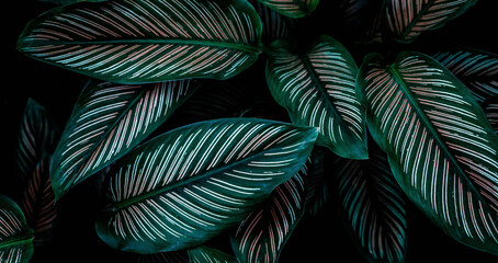 Wall Mural - closeup nature view of green leaf texture, dark wallpaper concept, nature background, tropical leaf