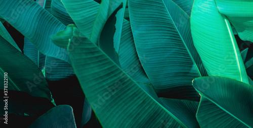 Wall mural tropical banana leaf texture, abstract green banana leaf, large palm foliage nature dark green background