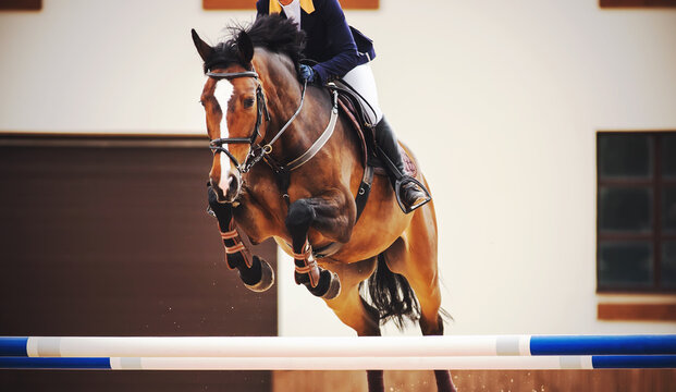 A beautiful bay racehorse with a rider in the saddle quickly jumps the high blue barrier in a show jumping competition. Horseback riding.