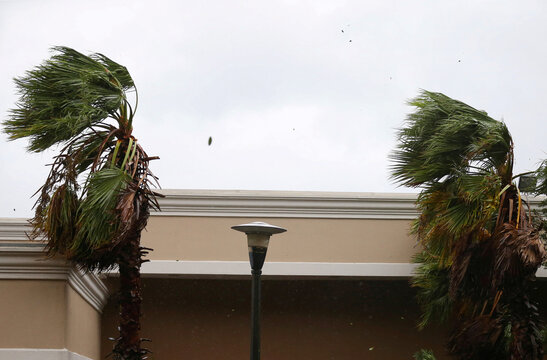 Palm trees sways in the wind during Hurricane Sally in Mobile
