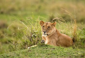 Wall Mural - Portrait of a Lioness in the evening light, Masai Mara