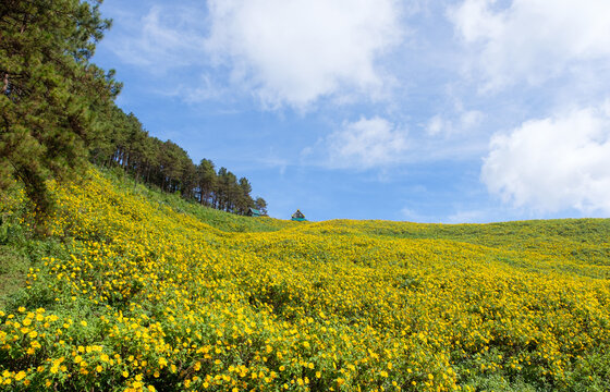 Panorama view of the tree marigold (Mexican sunflower) field.