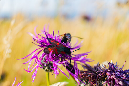 Six spot burnet feeding on a knapweed blooming flower, black and red bug sitting on a. plant on a sunny day. British meadows wildlife, polinators in UK, wild flower accessibility crisis in Britain